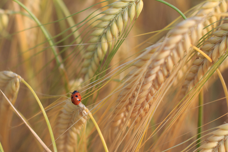 lady beetle: ladybird, ladybug, lady beetle in wheat field Stock Photo