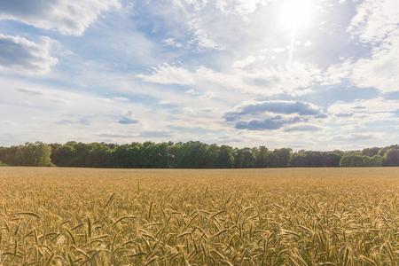 wheatfield: wheatfield, landscape blue sky and clouds Stock Photo