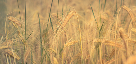 wheatfield: golden cereal field, wheatfield, agriculture background
