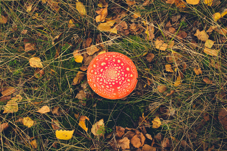 'fly agaric': Toadstool, fly agaric, mushroom in forest