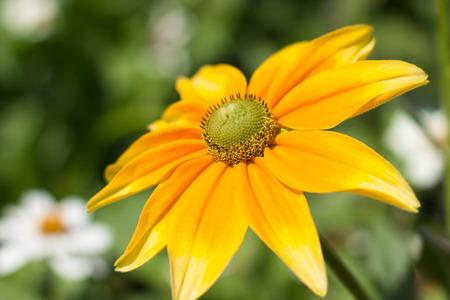 indian summer: Rudbeckia hirta , yellow summertime flower - indian summer Stock Photo
