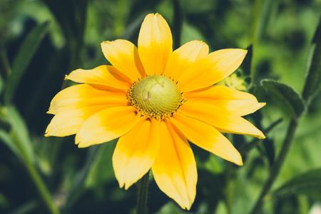 hirta: Rudbeckia hirta , yellow flower - coneflower
