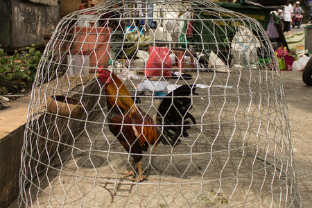 fighting cock: fighting cock in cage on the street Stock Photo