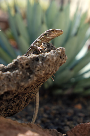 lizard in field: Lagarto que se sienta en la piedra
