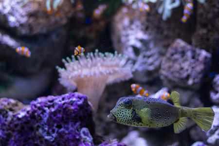 boxfish: boxfish and clown fishes in aquarium - sealife