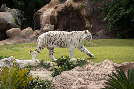 white tiger walking on meadow in zoo Stock Photo