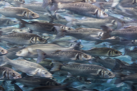 cohesive: fish swarm - many fishes swimming - motion blur Stock Photo