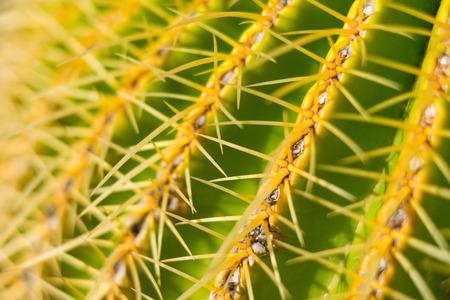 cactus closeup, thorn macro - barrel cactus background