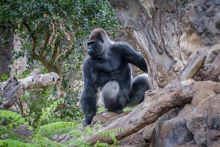 gorilla monkey , silverback gorilla in nature