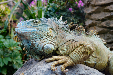 green iguana  American iguana -  lizard portrait 스톡 콘텐츠