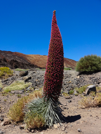 red tower of jewels flower (Echium wildpretii),  flower of Tenerife in the Spanish Canary Islands. Stock Photo