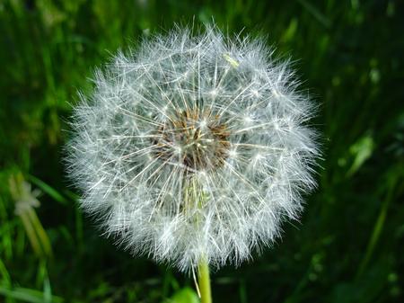fleur de blowball - fleur de pissenlit closeup -