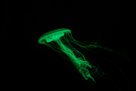 green  jellyfish on black background - fluorescent  jelly fish -