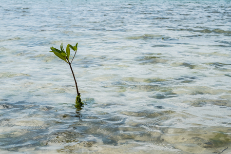 small mangrove branch growing in shallow ocean water - Imagens