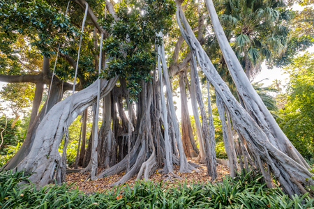 Ficus Tree, Botanic Garden, Puerto de la Cruz, Tenerife, Canary Islands, Spain