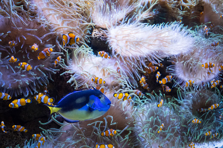 clown fishes and anemone inside aquarium fish tank Stock Photo