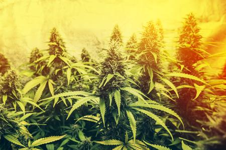 cannabis plant - marijuana plants for medical use Stok Fotoğraf
