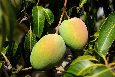 mongo fruit hanging on tree - mongo fruits