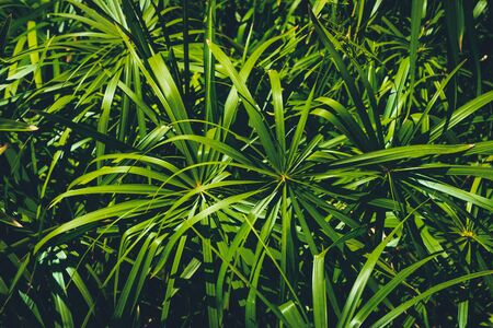 plant leaves in jungle or forest background - home cyperus  - 写真素材 - 132049209