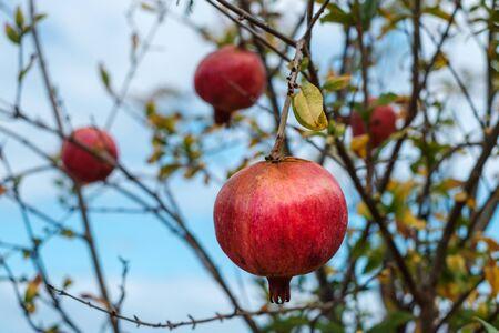 pomegranate apples on tree