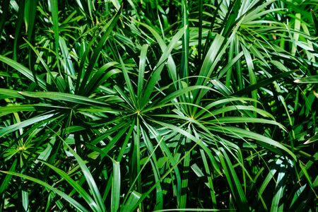 plant leaves in jungle background - home cyperus flower leaf  - 版權商用圖片