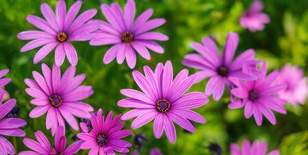 pink flowers - African daisies Osteospermum  in garden