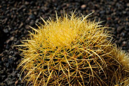 round barrel cactus , round cactus plant detail