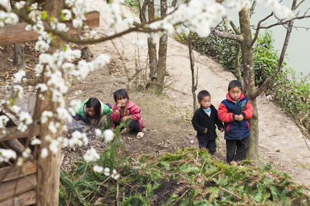 Ha Giang, Vietnam - Feb 18, 2013: Unidentified group of Hmong children play on playground under blossoming plum tree by spring season