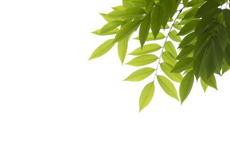 against white: Green leaves against white background