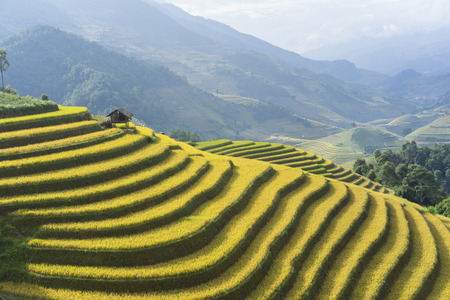 vietnamese ethnicity: Asian rice field in harvesting season in Mu Cang Chai, Yen Bai, Vietnam. Terraced paddy fields are used widely in rice, wheat and barley farming in east, south, and southeast Asia