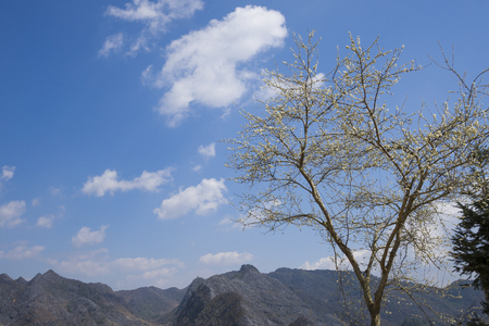 ha giang: Branches of white plum flowers in mountainous region in Vietnam