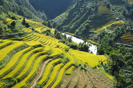 vietnamese ethnicity: Asia rice field by harvesting season in Mu Cang Chai district, Yen Bai, Vietnam. Terraced paddy fields are used widely in rice, wheat and barley farming in east, south, and southeast Asia