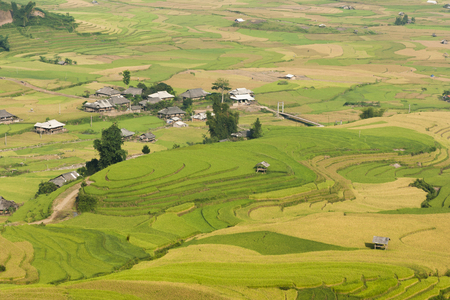 vietnamese ethnicity: Vietnamese rice terraced paddy field in harvesting season. Terraced paddy fields are used widely in rice, wheat and barley farming in east, south, and southeast Asia