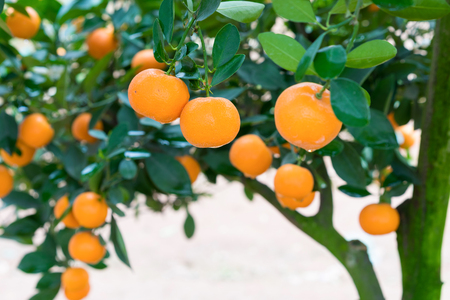 Kumquat, the symbol of Vietnamese lunar new year. In nearly every household, crucial purchases for Tet include the peach hoa dao and kumquat plants Stock Photo