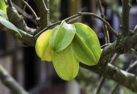 Starfruit on carambola tree