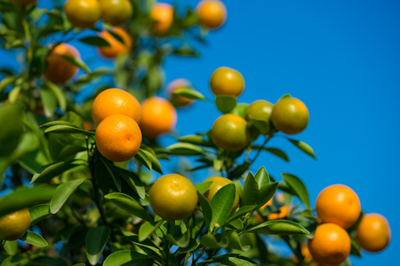 Kumquat, the symbol of Vietnamese lunar new year. In nearly every household, crucial purchases for Tet include the peach hoa dao and kumquat plant Stock Photo