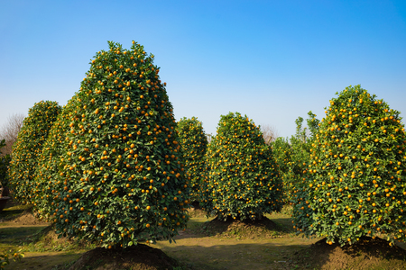 Kumquat garden, the symbol of Vietnamese lunar new year. In nearly every household, crucial purchases for Tet include the peach hoa dao and kumquat plant