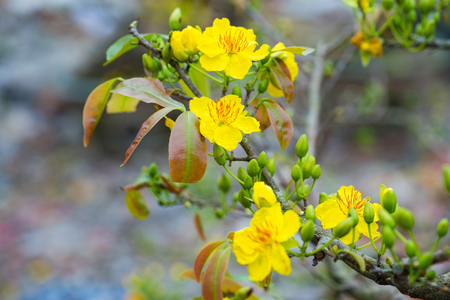 Ochna integerrima, the symbol of Vietnamese lunar new year in south. The golden yellow of the flower means the noble roots of Vietnamese