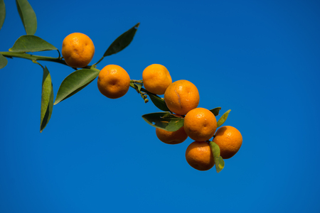 include: Kumquat, the symbol of Vietnamese lunar new year. In nearly every household, crucial purchases for Tet include the peach hoa dao and kumquat plant Stock Photo