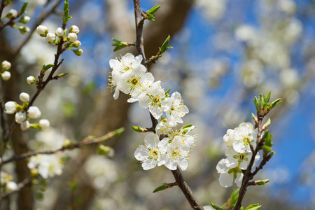 ha giang: Branches of white plum flowers in spring