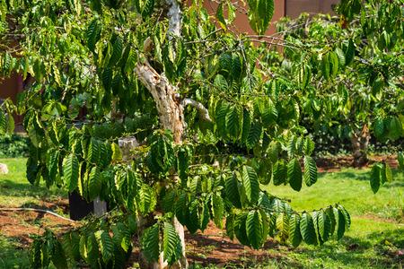 arbol de cafe: Excelsa coffee tree