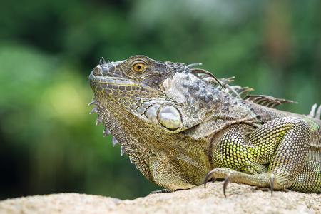endangered species: Iguana, an endangered species of lizard. Portrait of green iguana Stock Photo