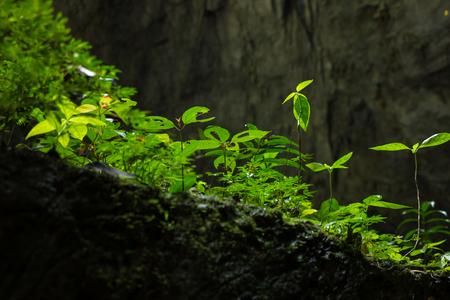 息子 Doong 洞窟、世界のユネスコ世界遺産サイト ハイフォン ニャチャンみけバン国立公園、クアンビン省、ベトナム最大の洞窟で岩の中の植物 写真素材