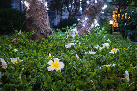 White plumeria fallen on green grass against foot of the tree with lighten LED at night Stock Photo