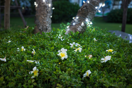 fallen tree: White plumeria fallen on green grass against foot of the tree with lighten LED at night Stock Photo
