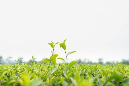 beautiful location: Green tea leaves in a tea plantation in morning Stock Photo