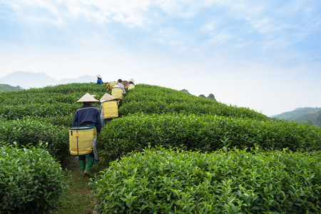 Vietnamese women working at a tea plantation.