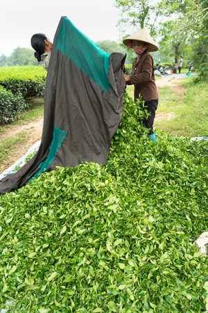 sep: Hanoi, Vietnam - Sep 16, 2016: Cluster of green tea leaves after harvesting in Yen Bai province Editorial