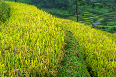 malaysia culture: Rice fields on terraced of Mu Cang Chai, Yen Bai, Vietnam Stock Photo