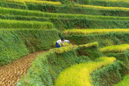 Mu Cang Chai, Vietnam - Sep 18, 2016: Paddy rice with Hmong women harvesting rice in Mu Cang Chai district, Vietnam